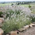 Native plant suitable for planting in landscape mix soil available from the Yard Landscape and Garden Centre, Doonan